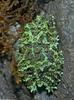 Vietnamese Mossy Frog (Theloderma corticale)