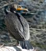 Double Crested Cormorant (Phalacrocorax auritus)08732