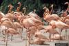Greater Flamingo (Phoenicopterus ruber) flock