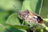Dolycoris baccarum (Sloe Shieldbug)