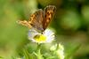 Lycaena phlaeas (Small Copper Butterfly)