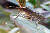 Halyomorpha halys (Brown Marmorated Stink Bug)