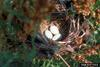 Red-winged Blackbird (Agelaius phoeniceus) eggs