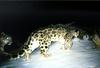 Chinese photograph elusive, endangered snow leopards [USAToday 2006-02-17]