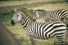 Plains Zebras (Equus burchelli)