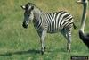 Plains Zebra (Equus burchelli)