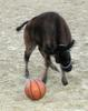 BUFFALO PLAYING BASKETBALL