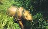 Nearly Extinct Rhinos Found in Malaysia [AP 2006-03-16]