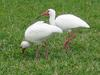 Little cattle egrets