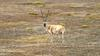Rare Tibetan Antelope Listed As Endangered [ScienceDaily 2006-03-30]