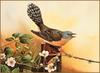 [Eric Shepherd's Beautiful Australian Birds Calendar 2003] Fantail Cuckoo