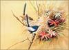[Eric Shepherd's Beautiful Australian Birds Calendar 2003] White-Winged Fairy Wren