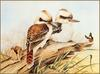 [Eric Shepherd's Beautiful Australian Birds Calendar 2003] Laughing Kookaburra