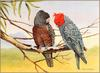 [Eric Shepherd's Beautiful Australian Birds Calendar 2003] Gang-Gang Cockatoo