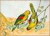 [Eric Shepherd's Beautiful Australian Birds Calendar 2003] Red-Winged Parrot