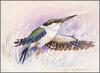 [Eric Shepherd's Australian Birds Calendar 2003] Red-Backed Kingfisher