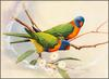 [Eric Shepherd's Australian Birds Calendar 2003] Red-Collared Lorikeet