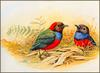 [Eric Shepherd's Australian Birds Calendar 2003] Red-Bellied Pitta