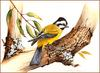 [Eric Shepherd's Beautiful Australian Birds Calendar 2002] Crested Shrike-Tit