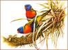 [Eric Shepherd's Beautiful Australian Birds Calendar 2002] Rainbow Lorikeet