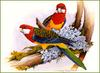 [Eric Shepherd's Beautiful Australian Birds Calendar 2002] Eastern Rosella