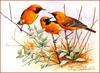 [Eric Shepherd's Beautiful Australian Birds Calendar 2002] Orange Chats