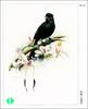 [WY scan] Zeng Xiao Lian - 呼喚(大盤尾) - Greater Racket-tailed Drongo, Dicrurus paradiseus