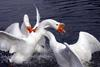 Fighting Swan Geese