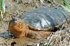 Eastern Snapping Turtle (Chelydra serpentina) 302