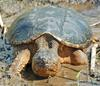 Eastern Snapping Turtle (Chelydra serpentina) 303