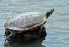 Red-bellied Cooter (Pseudemys rubriventris)