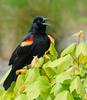 Red-winged Blackbird (Agelaius phoeniceus) 033