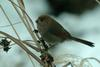 Paradoxornis webbianus (Vinous-throated Parrotbill) - Wiki