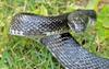 Black Ratsnake (Elaphe obsoleta obsoleta) 002