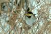 Emberiza elegans (Yellow -throated Bunting)
