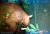 Rare Borneo Rhino Photographed for First Time [LiveScience 2006-06-14]