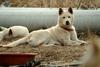Jindo Dog - Korea