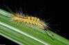 White-Marked Tussock Moth (Orgyia leucostigma) 1