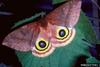 Io moth (Automeris io) adult female