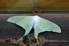 Actias gnoma (long-tailed greenish silk moth)