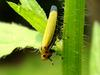 Bothrogonia japonica (Black-tipped leafhopper)