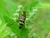Leptura arcuata (Yellow-banded Longicorn Beetle)