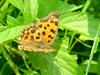 Polygonia c-aureum (Asian Comma Butterfly)