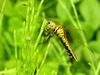 Lyriothemis pachygastra (Wide-bellied Skimmer / female)