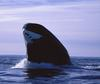 Rare Whales Can Live to Nearly 200, Eye Tissue Reveals [NationalGeographic 2006-07-13]