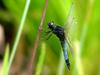 Lyriothemis pachygastra (Wide-bellied Skimmer)