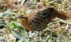 Misc Critters - Chinese Bamboo Partridge (Bambusicola fytchii)076
