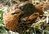 Misc Critters - Chinese Bamboo Partridge (Bambusicola fytchii)077
