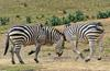 Play Fighting Burchell's Zebra (Equus burchellii) - Burchell's Zebra (Equus burchellii) fight 10