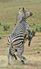 Play Fighting Burchell's Zebra (Equus burchellii) - Burchell's Zebra (Equus burchellii) fight 4